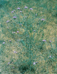 spotted_knapweeds